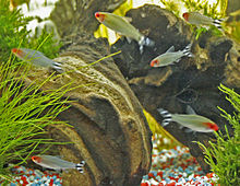 Rummy Nose Tetra are our tropical fish of the month for May 2015.