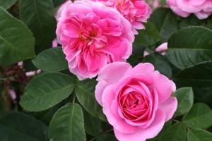 Gertrude Jekyll English Rose