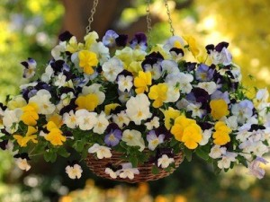 Cool Wave Pansy