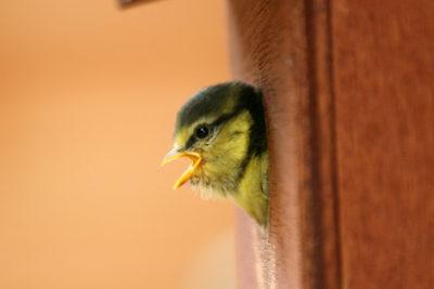 Bird Box with baby blue tit inside