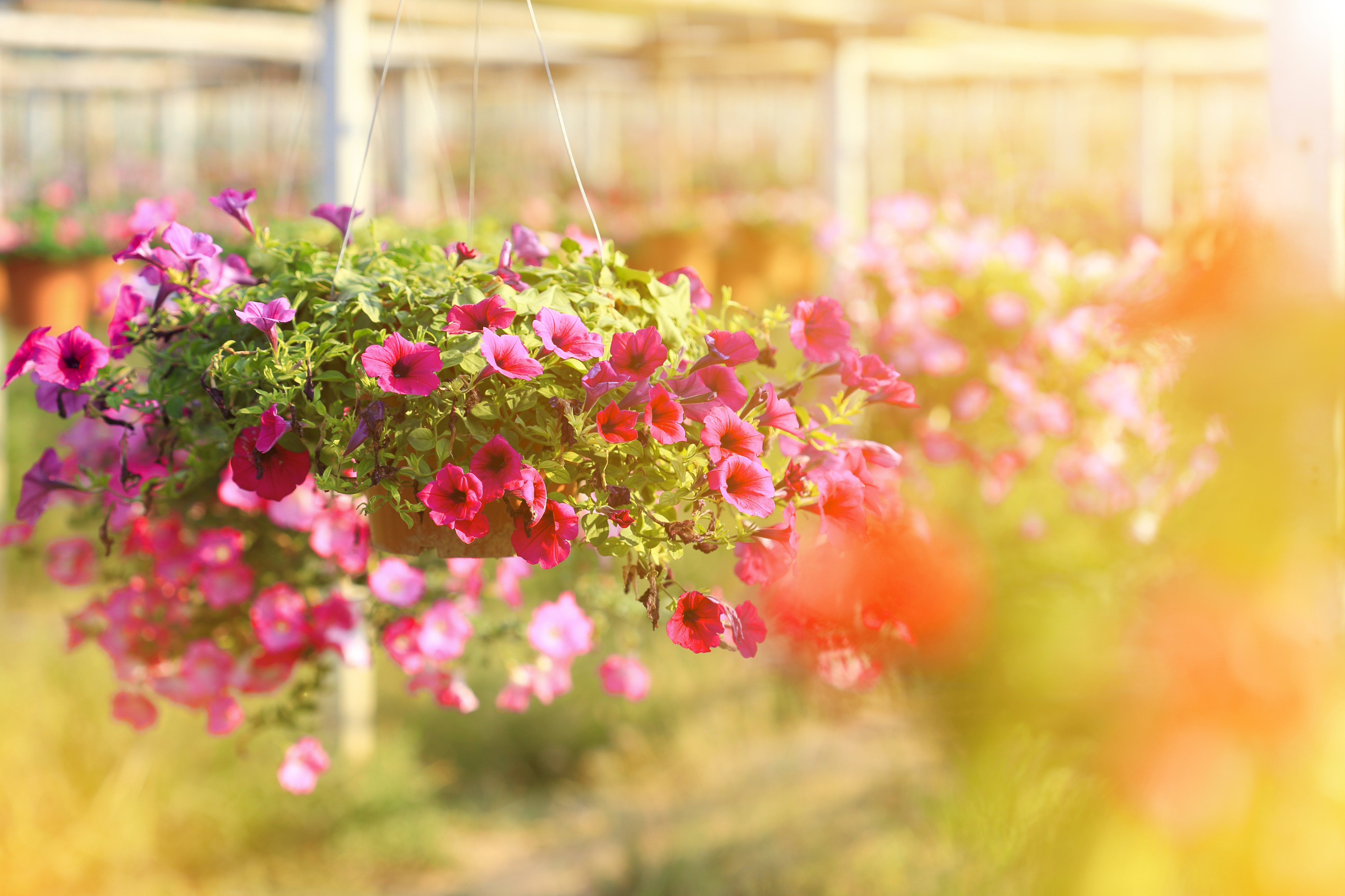 Trailing petunias look great in a hanging basket.